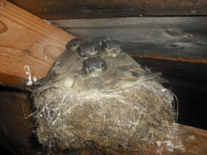 Pheobe nest