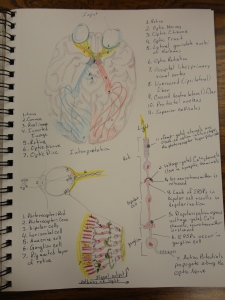 Sketches of Optic nerves