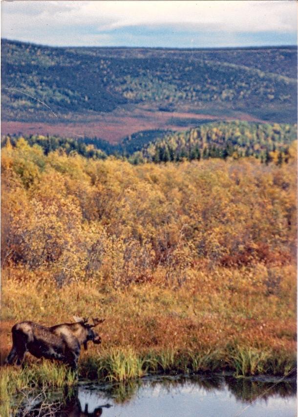 Moose in Muskeg
