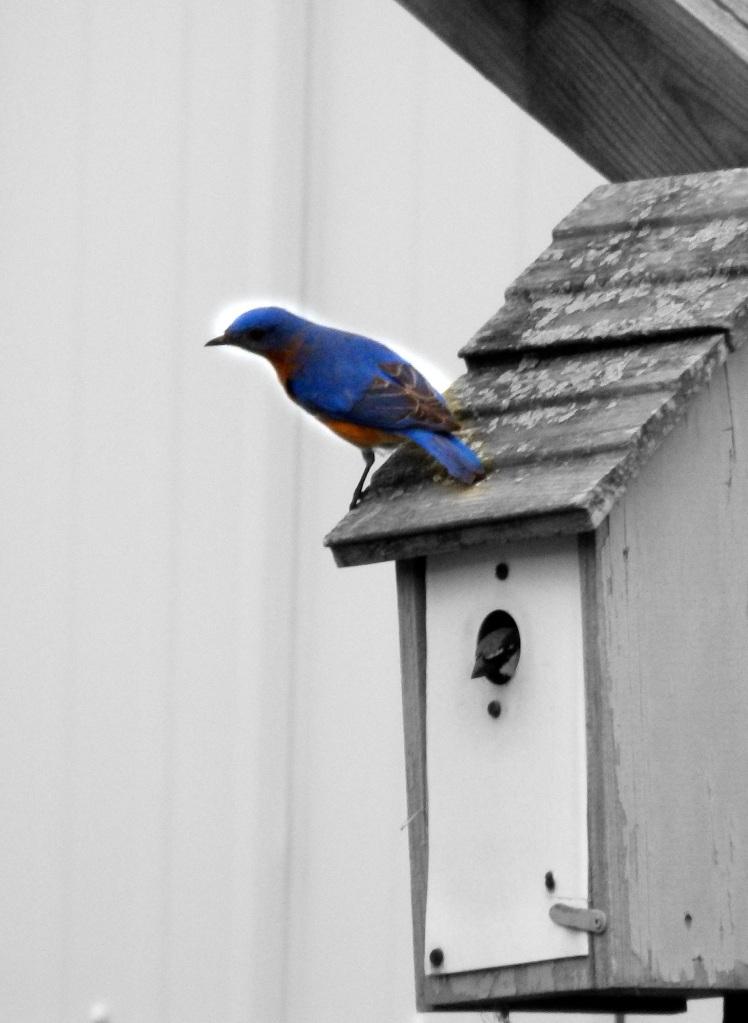 Bluebird on birdhouse
