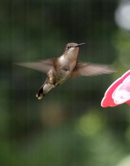 hummingbird Kentucky