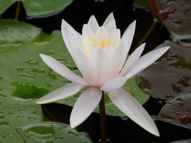 waterlily bloom