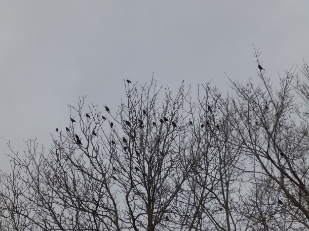 A murder of Crows: another word for a flock