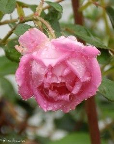 Rose raindrops