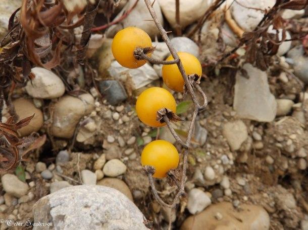 Solanum spp berry